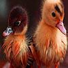 Little village ducks puzzle